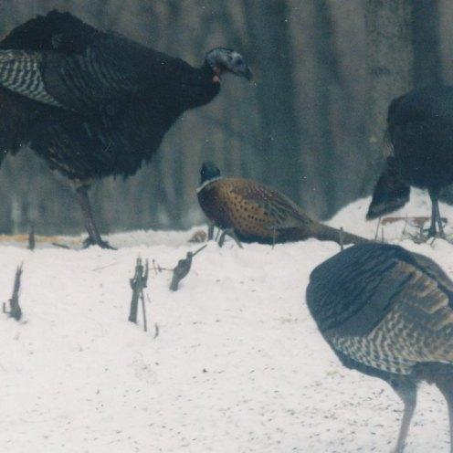 turkeys_0011